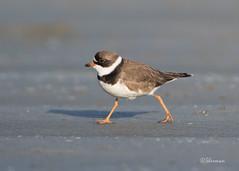 Semipalmated-Plover2 (Sherms Photo) Tags: birds canon bc tofino shorebirds 7dm2 shorebirdfestival2016