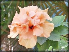 Beaut of a peachy flower. Fuerteventura 18th November 2015 (Tigeress blue) Tags: flower nature garden fuerteventura peach peachflower wendyminto