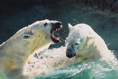 Masha (L) & Wilhelm (R) engage in some harmless play (ucumari photography) Tags: bear film 2004 animal mammal zoo oso nc nikond70 north january polarbear carolina willie willy masha eisbr wilhelm ursusmaritimus  oursblanc osopolar  ourspolaire orsopolare jkarhu specanimal  ucumariphotography sbjrn niedwiedpolarny