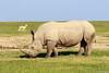 Rinoceronte-branco-do-sul (dragoms) Tags: africa mammal kenya wildlife natureza rhino rinoceronte mamífero quénia southernwhiterhinoceros ceratotheriumsimumsimum olpejeta dragoms rinocerontebrancodosul