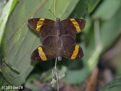 Celaenorrhinus aurivittatus cameroni, The Dark Yellow-banded Flat (Green Baron Pro) Tags: butterfly lepidoptera malaysia frasershill hesperiidae highpines pyrginae 201510