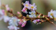Spring Blossom On Christmas Day, 2015 (SpookyGhost1) Tags: christmasday flickrunitedwinner