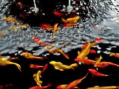 Common goldfishes (hastuwi) Tags: red orange black yellow gold golden blackberry passport bb10