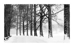 Winter Storm Jonas, Jan. 2016 (Joe Franklin Photography) Tags: road trees blackandwhite bw blackwhite asheville northcarolina avenue jonas winterstorm westernnorthcarolina joefranklin almostanything wwwjoefranklinphotographycom snowlinedtrees