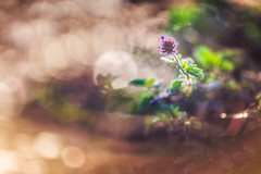 Bokeh Party!! (Elizabeth_211) Tags: flower nature floral garden bokeh tennessee 135mm jacksontn westtn sherielizabeth