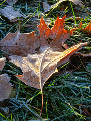 Frosted Leaf (Jae at Wits End) Tags: light cold green ice nature field grass leaves sunshine weather frozen leaf cool frost lawn foliage freeze vegetation icy chill grounds turf sod