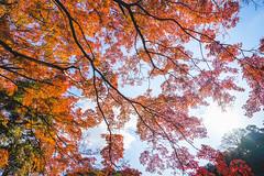 #最後一抹紅 (David C W Wang) Tags: japan maple 日本 植物 楓葉 樹 建長寺 秋葉 葉子 明亮 神奈川縣 戶外 紅楓 sel1635z sonya7ii