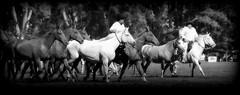 Las madrinas (Eduardo Amorim) Tags: horses horse southamerica argentina criollo caballo cheval caballos cavalos pferde herd cavalli cavallo cavalo gauchos pferd ayacucho chevaux gaucho cavall  amricadosul gacho amriquedusud provinciadebuenosaires  gachos  sudamrica suramrica amricadelsur sdamerika crioulo caballoscriollos criollos  tropillas buenosairesprovince americadelsud tropilhas tropilla crioulos cavalocrioulo americameridionale tropilha caballocriollo eduardoamorim cavaloscrioulos