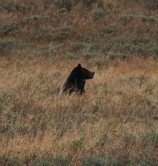 Grizzly Bear in Hayden Valley - Yellowstone National Park, Wyoming (danjdavis) Tags: bear nationalpark wildlife yellowstonenationalpark yellowstone wyoming haydenvalley grizzlybear