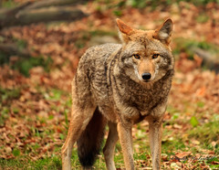 Coyote (Cindy Mulvihill) Tags: coyote nature wildlife