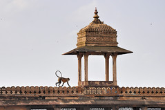 Indian fort and a monkey (FrancescaFalasca) Tags: india animals monkey colours fort indian colores animales colori castillo animali forte monos scimmia orizzontale orizontal