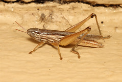 Acrididae sp. (Grasshopper) - South Africa (Nick Dean1) Tags: insect southafrica insects grasshopper orthoptera arthropods animalia arthropoda krugernationalpark arthropod hexapod insecta acrididae hexapods hexapoda