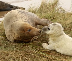 3B4A2222 (Janet-Hedger) Tags: seals donnanook janethedger