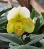 Paphs are taking off now. (cieneguitan) Tags: lan bunga ran orkid paphiopedilum okid angrek anggerek
