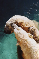 Untitled-13 (ucumari photography) Tags: 2003 bear animal mammal zoo oso nc december north polarbear carolina willie willy masha eisbär wilhelm ursusmaritimus シロクマ oursblanc osopolar 北极熊 ourspolaire orsopolare jääkarhu 북극곰 ucumariphotography ísbjörn niedźwiedźpolarny полярныймедведь الدبالقطبي