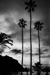Three Palm Trees-Catalina Island.jpg (jpepmont1) Tags: california sunset june catalina places palmtree avalon 2015 2015jun