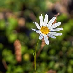 daisy / Gnseblmchen (Danyel B. Photography) Tags: plant flower macro nature close minolta blossom bokeh sony natur pflanze 100mm petal daisy 28 nah blume makro blte gnseblmchen a58
