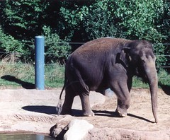 Chai, Asian elephant formerly housed at Woodland Park Zoo in Seattle (Animal People Forum) Tags: seattle elephant animals asian outside zoo outdoor elephants captive mammals chai woodlandparkzoo captivity asianelephant