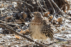Greater Roadrunner (rich_downs) Tags: newmexico sanantonio del us apache unitedstates bosque greater roadrunner nwr