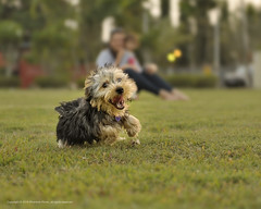 Happy Yorkie (Elmer The Fudd) Tags: park family friends dog pet yorkie toy outdoors crazy daughter mother running recreation excitement f28 trinidadtobago iso500 tto phantomphoto valsayn nikond700 afzoom2470mmf28g speed1500 shotat70mm expcomp00 ev1194
