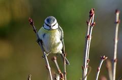 Thse-la-Romaine (Loir-et-Cher) (sybarite48) Tags: france bird pssaro oiseau vogel pjaro uccello  ku ptak loiretcher cyanistescaeruleus  msangebleue   thselaromaine