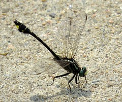 Cobra clubtail (Gomphus vastus) dragonfly, Sainte-Foy–Sillery–Cap-Rouge, Québec City, Canada, July 2015
