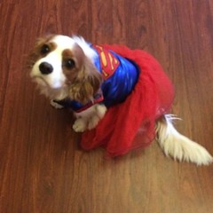 "Super Molly ready to go Trick or Treating. • <a style=""font-size:0.8em;"" href=""//www.flickr.com/photos/72564046@N04/24747682305/"" target=""_blank"">View on Flickr</a>"