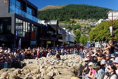 20160206-13-Sea of sheep in Queenstown (Roger T Wong) Tags: city travel newzealand summer people sheep crowd merino nz southisland otago queenstown 2016 sony2470 rogertwong sel2470z sonyfe2470mmf4zaosscarlzeissvariotessart sonya7ii sonyilce7m2 sonyalpha7ii runningofthewools
