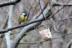Great Tit Feeding. (martynshutt71) Tags: wild bird nature fauna flora tit great cumbria