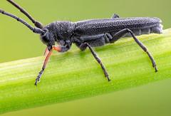 Phytoecia  (johnhallmen) Tags: macro insect beetle coleoptera cerambycidae canonmpe65 vu2 zerenestacker sonynex7