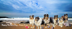 Love on the beach (Sheltie Dog World) Tags: landscape moody northdevon stormyseas woolacombebeach bluemerlesheltie mothersdaymessage thecrazygang sheltieworld sheltiesonline tricoloursheltie shetlandsheltiecolliesheepdog seacoastwaves sheltiestorys