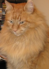 Goodbye (drayy) Tags: orange pet beautiful cat memorial soft fluffy mainecoon neko inmemoriam ggg cc300 cc200 cc100 oreengeness velvetpaws thebiggestgroupwithonlycats