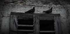 Gioiosa Jonica, Calabria (gabri tropea) Tags: old italy abandoned window birds grigio decay gray uccelli finestra calabria piccioni gioiosa colombi
