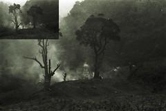 cardamom 2 (Standing Clouds) Tags: travel trees blackandwhite india analog asia smoke documentary journey jungle analogue northeast analogphotography journalism treeoflife naga nagaland travelphotography originalphotography asiaonfilm adoxsilvermax hannesherbst