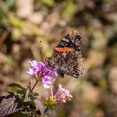 butterfly on flower (apmckinlay) Tags: flowers plants nature animals insects