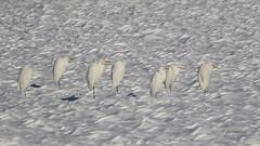 Velike bele aplje na zasneenem polju (natalija2006) Tags: white snow bird heron nature alba great ardea slovenia bela egrets sneg albus velika casmerodius narava pti aplja