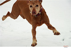 Snow Motion (Lutz Koch) Tags: schnee winter dog snow fun flying vizsla blurred hund airborne unscharf spass allrightsreserved airborn zala hungarianvizsla vorstehhund jagdhund magyarvizsla elkaypics copyrightbylutzkoch