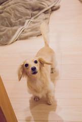 IMG_3858 (yukichinoko) Tags: dog dachshund 犬 kinako ダックスフント ダックスフンド きなこ
