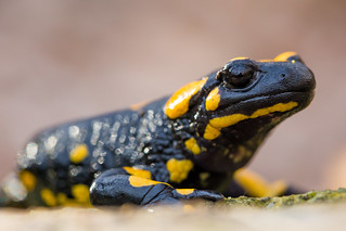 Fire salamander - Salamandra salamandra