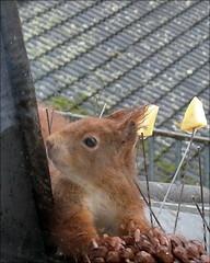 """wo sind die Nüsse jetzt wieder versteckt (flixx-ak) Tags: germany deutschland squirrel eichhörnchen 2016 flixxakoffenbachammainhessen frühlingsahnen """"anvormeinemfenster"""" r0018959"""