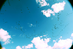 (nic lawrance) Tags: blue light england sky white nature birds clouds flying geese bright wildlife flight wideangle scatter portsmouth shape flockofbirds