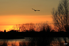 Heron at Sunset, Hinchingbrooke Park, Huntingdon, UK (SHGP) Tags: park sunset sky sun lake color colour tree bird animal canon landscape outdoor wildlife planet vegetation huntingdon hinchingbrooke 700d