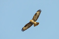 Buzzard (buteo buteo) (phat5toe) Tags: nature birds nikon wildlife flight feathers raptor prey buzzard avian buteobuteo wigan flashes greenheart lancashirewildlifetrust d7000 sigma150500