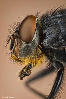 Spiratone blue (calliphora vomitoria, blue bottle fly)