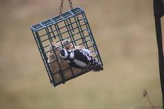 Downy Woodpecker (Saline, Michigan - March 13, 2016) (cseeman) Tags: birds woodpecker downywoodpecker michigan saline suet backyardbirds suetfeeder