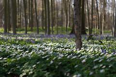 The time of white and blue (Tobiasvde) Tags: flowers spring nikon belgium belgie forrest anemone nikkor bluebell f28 brabant vr flanders d800 pajottenland vlaams vlaanderen gaasbeek 2470 boshyacinth bosanemone