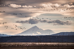 Winter Migration Lower Klamath NWR (F. Scalpi) Tags: ducks swans mountshasta pacificflyway lowerklamathnwr snadhillcranes wintermigration