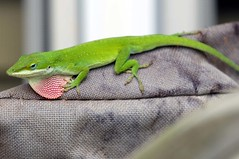 GREEN ANOLE RED THROATED  LIZARD.     (16) (komissarov_a) Tags: blue summer brown black cold macro green animal yellow breakfast canon fun streetphotography grill lizard camouflage 5d anole layers prey m3 cells chameleon stressed pigment predators     colorchanging pigmentation      chromatophores melanophores  americanredthroated xanthophores cyanophores rgbkomissarova