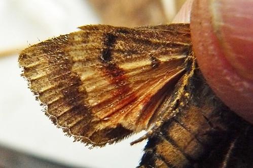 2298-P10905351 Svennson's Copper Underwing  (Amphipyra berbera)