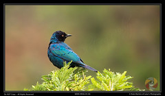 Starling (Leoa's  Photography) Tags: blue green bird nature birds ilovenature outdoors outdoor wildlife starling colourful pilanesberg pilanesbergnaturereserve leoasphotography
